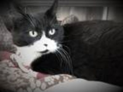 Adopt Blaire a All Black Domestic Shorthair / Mixed cat in Merriam