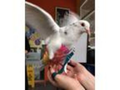 Adopt Mettle w/Speck a Pigeon