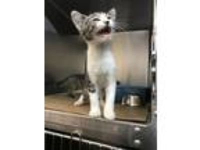 Adopt Robyn a Domestic Short Hair