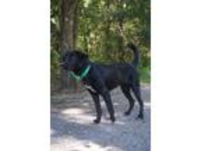 Adopt Kerrigan a Labrador Retriever / Mixed dog in Bowmansville, NY (25456195)
