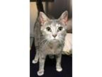 Adopt Bubbles a Gray or Blue (Mostly) Domestic Shorthair (short coat) cat in