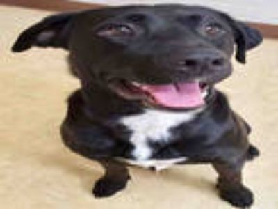 Adopt DENZEL a Black - with White Mixed Breed (Medium) / Mixed dog in Bowling