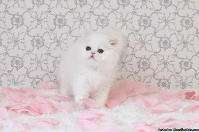 pure white persian kittens ready