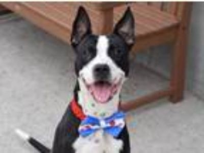 Adopt King/Reuben a White - with Black American Pit Bull Terrier / Mixed dog in