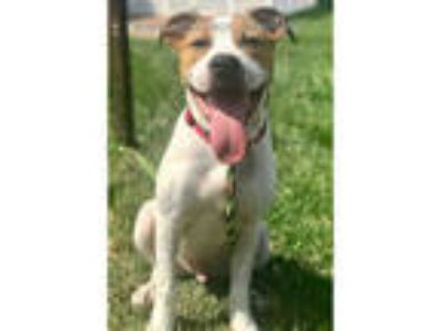 Adopt BOBBY a White - with Brown or Chocolate Boxer / Mixed dog in Olivette