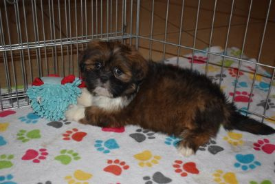 Lhasa Apso PUPPY FOR SALE ADN-106374 - Lhasa Apso Puppy