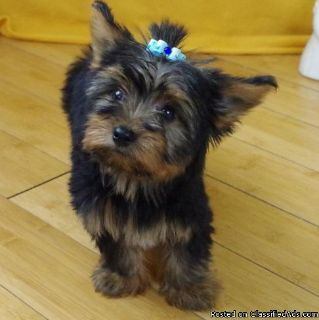 HLKh/htgsd Yorkshire terrier puppies for adoption please contact via text or call for more details (530)-436
