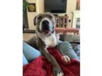 Adopt Auburn a Brindle - with White Pit Bull Terrier / Mixed dog in Sacramento