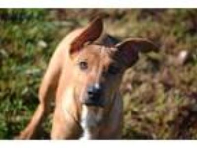 Adopt Pogo a Mixed Breed, German Shepherd Dog