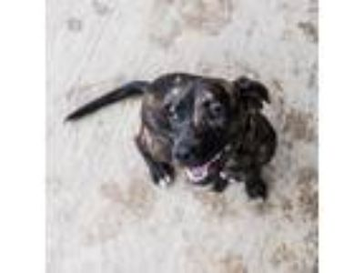 Adopt Brick House a Brindle - with White Beagle / Hound (Unknown Type) / Mixed