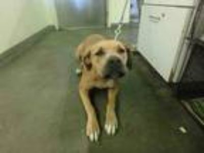 Adopt Dog - ID#A1520308 a Tan/Yellow/Fawn Mastiff / Mixed dog in Beverly Hills