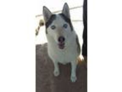 Adopt Snoopy a Black - with White Siberian Husky / Mixed dog in Las Vegas