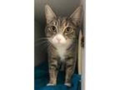 Adopt Kendall a Gray or Blue Domestic Shorthair / Domestic Shorthair / Mixed cat