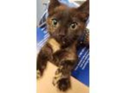 Adopt Oyster - ADOPTED a All Black Domestic Shorthair / Domestic Shorthair /
