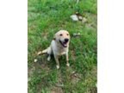 Adopt Cindel a Tan/Yellow/Fawn Labrador Retriever / Mixed dog in Bristol