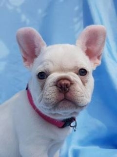 French Bulldog PUPPY FOR SALE ADN-96597 - Platinum White French Bulldog