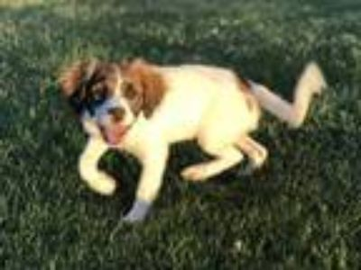 Adopt Tinsley a Brittany Spaniel, Jack Russell Terrier