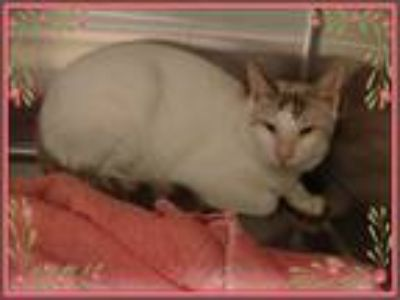 Adopt HELIOS-avail 7/23 a White (Mostly) Domestic Shorthair (short coat) cat in