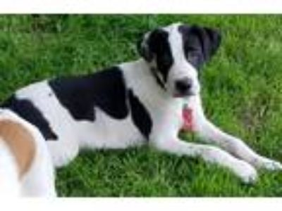 Adopt Shep a Black - with White Great Dane / Hound (Unknown Type) / Mixed dog in