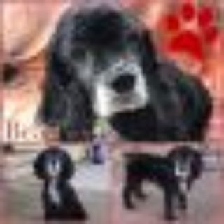 Beau Cocker Spaniel Dog