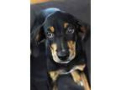 Adopt Puppy Romy a Doberman Pinscher, Labrador Retriever