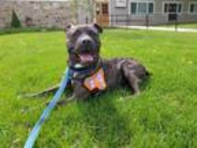 Adopt Donovan a Brindle Pit Bull Terrier / Mixed dog in Catasauqua