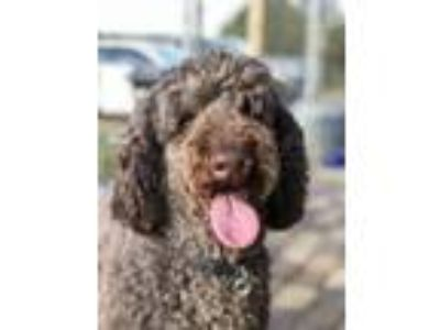 Adopt Boston of Michigan a Standard Poodle