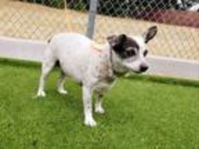 Adopt HARLEY a Rat Terrier