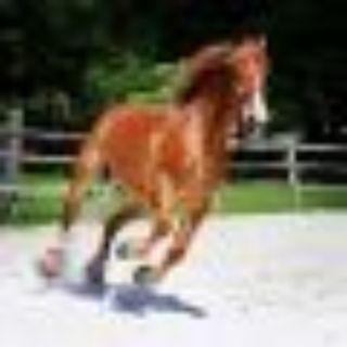 Duke Belgian Horse