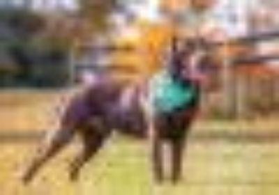 Murphy Chocolate Labrador Retriever Dog