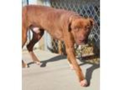 Adopt Rusty a Pit Bull Terrier