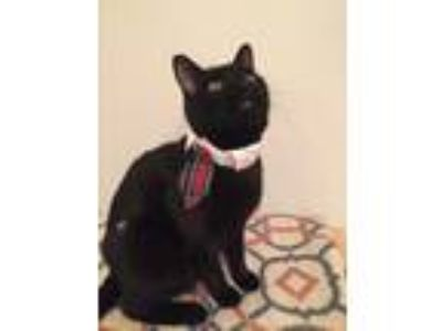 Adopt OZZY/dog alike/smart, curious a All Black Domestic Shorthair (short coat)