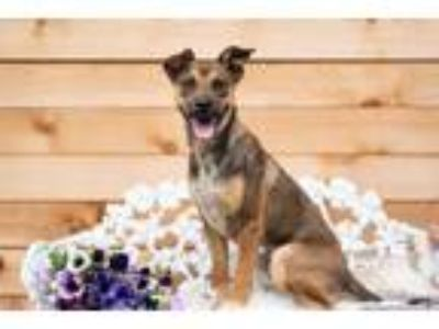 Adopt Honey a Shepherd, Australian Kelpie