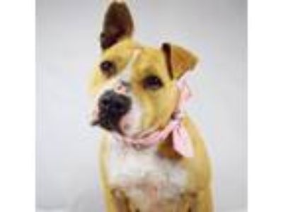 Adopt Survivor Candi a Tan/Yellow/Fawn Pit Bull Terrier / Mixed dog in Cranston