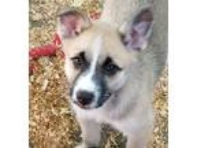 Adopt lucy a Brown/Chocolate - with White Australian Shepherd / Husky / Mixed