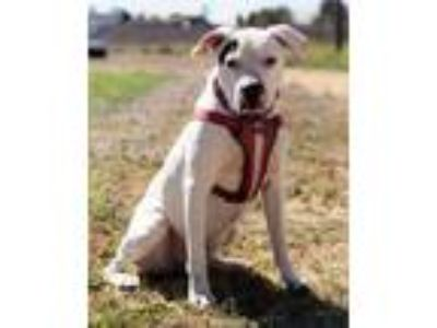 Adopt Brucey a Pit Bull Terrier