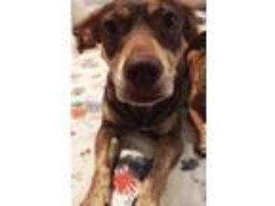 Adopt Shelby HTA a Brown/Chocolate - with Tan Dachshund / Corgi / Mixed dog in