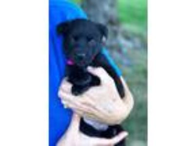Adopt BABY LEAH a Australian Cattle Dog / Blue Heeler, Labrador Retriever