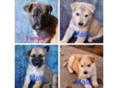 Adopt Shepherd/Husky Mix Boys a Tan/Yellow/Fawn German Shepherd Dog / Husky /