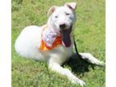 Adopt Bishop a White Siberian Husky / Shepherd (Unknown Type) / Mixed dog in