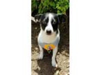 Adopt Richie a White - with Black Rat Terrier / Mixed dog in Gainesville