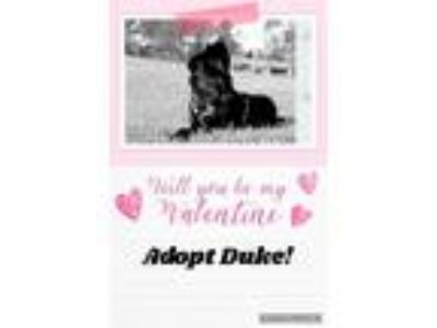 Adopt Duke a Black German Shepherd Dog / American Staffordshire Terrier / Mixed