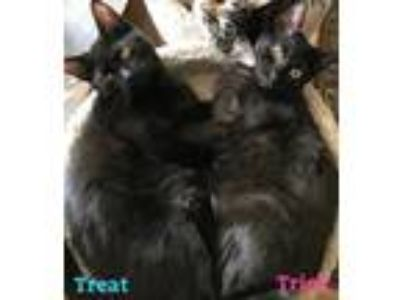 Adopt Trick a Brown or Chocolate Domestic Shorthair / Mixed (short coat) cat in