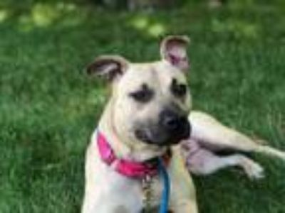 Adopt Baila a Pit Bull Terrier, Mixed Breed