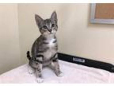 Adopt ALBURT a Gray or Blue Domestic Mediumhair / Mixed (medium coat) cat in