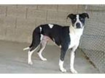 Adopt Thor a Black - with White American Pit Bull Terrier / Mixed dog in