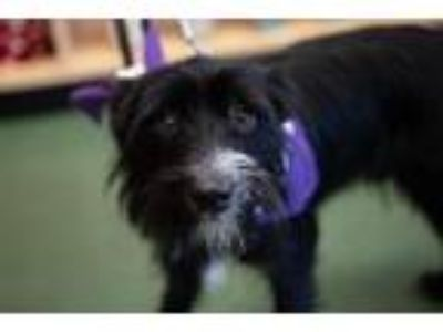 Adopt Blacky a Terrier (Unknown Type, Small) / Mixed dog in Washington