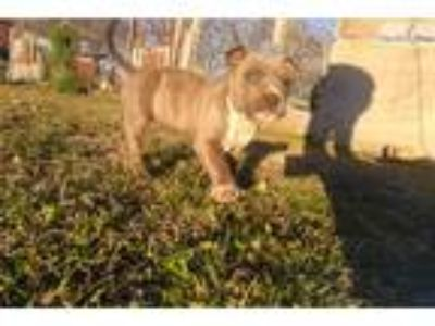 Ukc American Pit Bull Terrier Puppy