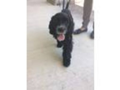 Adopt Piper a Black - with White Cocker Spaniel / Mixed dog in Russellville