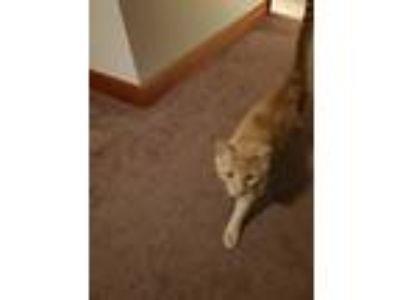 Adopt O'Malley a Orange or Red Bengal cat in Alton, IL (25832544)